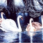 Winter Swans – an exploration of one of my favourites